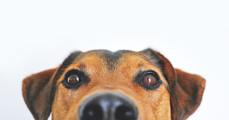 How to Prevent and Get Rid of Fleas on Dogs Dog Eyes Picture