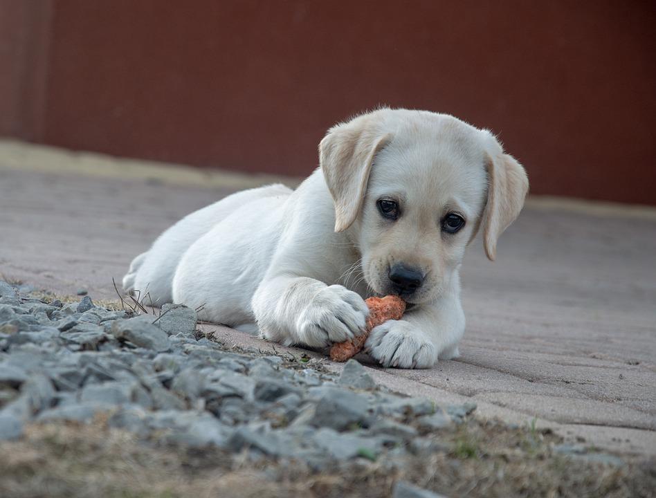 Labrador Puppy Eating a Carrot