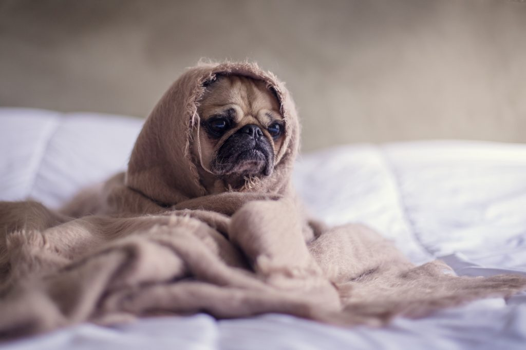 Pug wrapped up in a blanket on bed