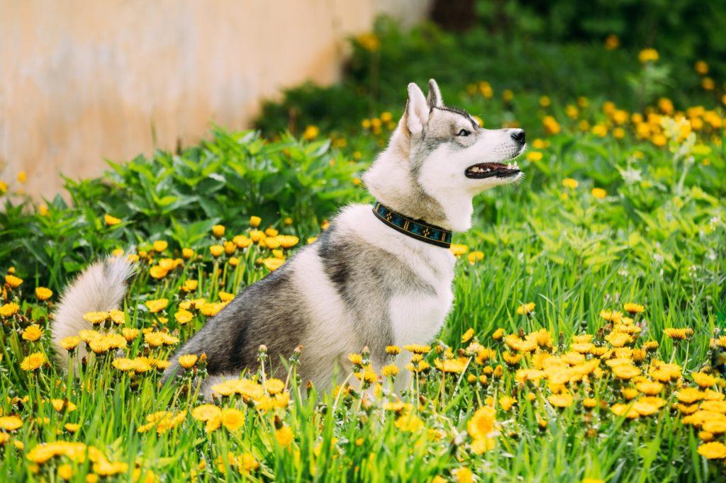 Husky in Sit Position Outside
