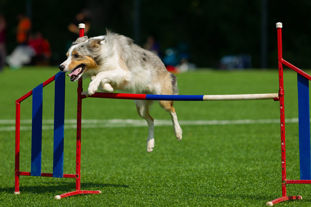 Dog jumping over bar at dog training classes for agility