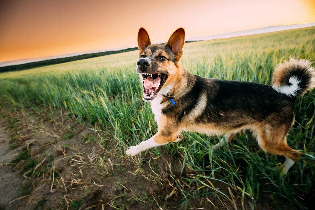 Dog barking in a field on a walk