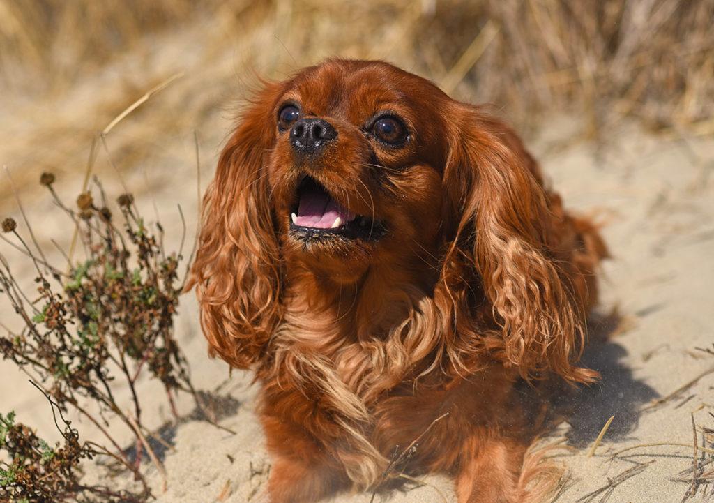 Cute King Charles Spaniel at the beach