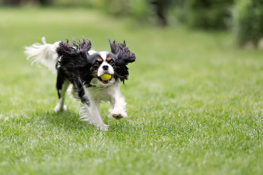Help train your dog to bark by tiring them out with a game a fetch like this King Charles Spaniel