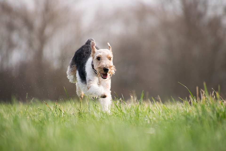 Happy Terrier Running Towards Owner