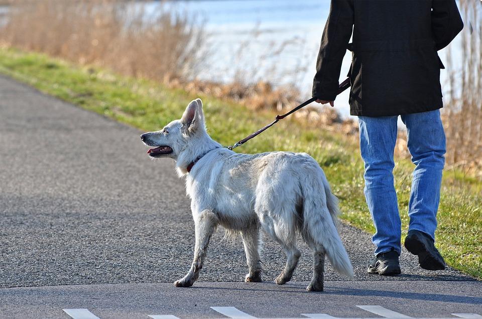 Large Dog Walking on a Leash