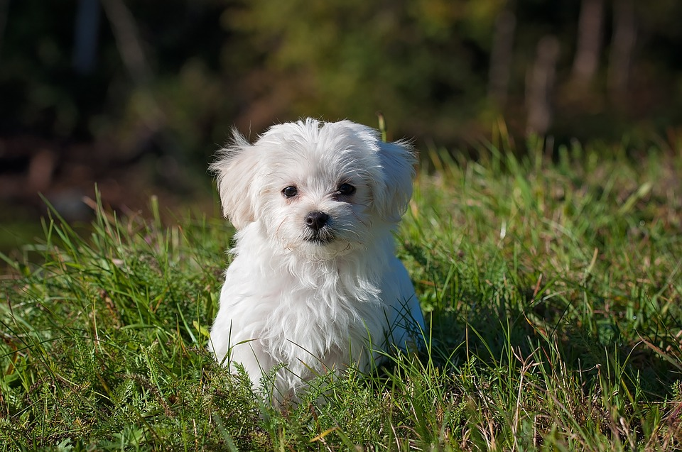 Little White Dog Learning How to Stay