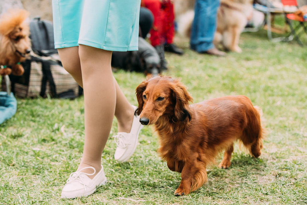 Dachshund walking with woman