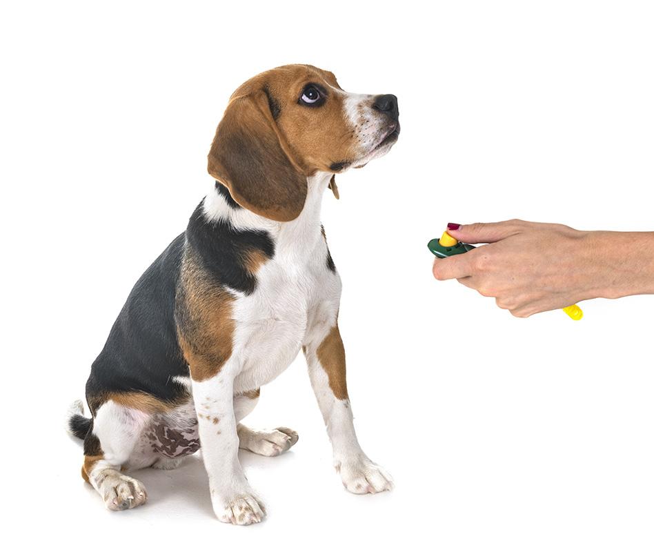 Beagle and Clicker