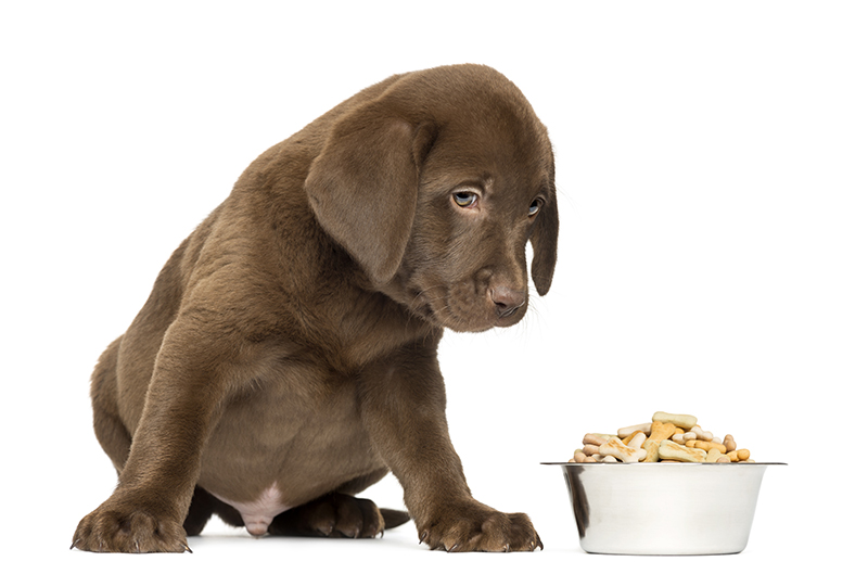 Labrador puppy with full bowl of food