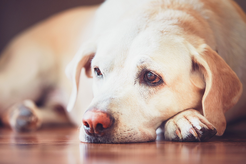 Sick Labrador How to Tell if Your Dog is Sick